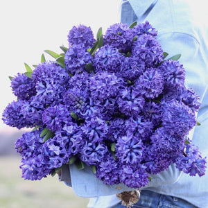 Hyacinth 'Delft Blue'