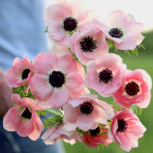 Load image into Gallery viewer, Anemone 'Rosa Chiaro'