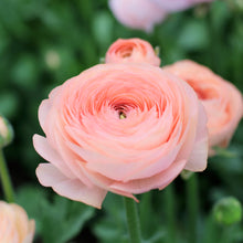 Load image into Gallery viewer, Ranunculus 'Salmone'
