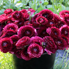 Load image into Gallery viewer, Italian Ranunculus 'Nerone'