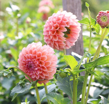 Load image into Gallery viewer, Dahlia 'Linda's Baby'
