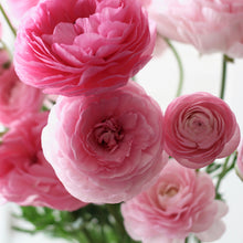 Load image into Gallery viewer, Ranunculus 'Pastelo'