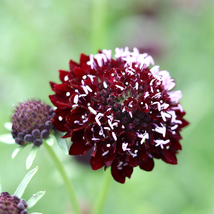 Pincushion Flower 'Black Knight'