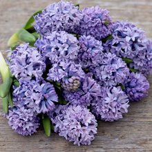 Load image into Gallery viewer, Hyacinth 'Blue Ice'