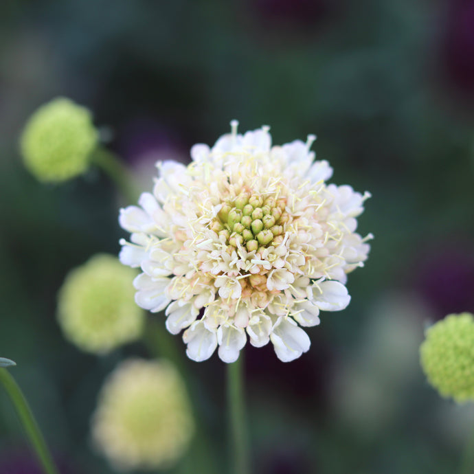 Pincushion Flower 'Fata Morgana'
