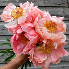 Load image into Gallery viewer, Paeonia 'Coral Charm'