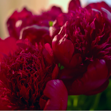 Load image into Gallery viewer, Paeonia 'Red Charm'
