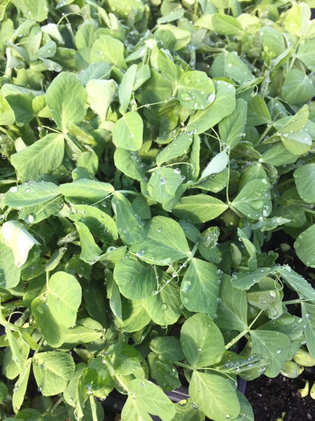 Micro Pea Shoot (Brooklyn Grange), 2oz