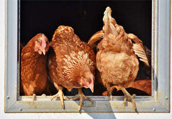 Do Chicken Coops Need Sun or Shade?