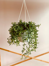 "Load image into Gallery viewer, String of Dolphins (Senecio Peregrinus) 8"" hanging pot"