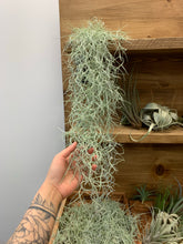 Load image into Gallery viewer, Live Spanish Moss (Tillandsia usneoides) 2Ft+