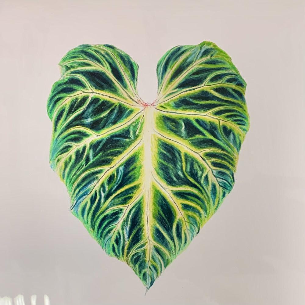 "Coloured Pencil Print (Philodendron Verrucosum) 12""x18"
