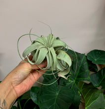 Load image into Gallery viewer, Tillandsia Xerographica Mini (approximately 3.5)