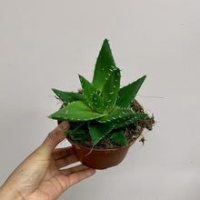 "Load image into Gallery viewer, Aloe Mitriformis 5"" pot"