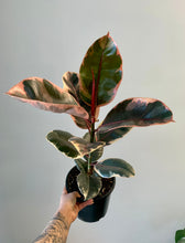 "Load image into Gallery viewer, Ficus Elastica ""Ruby"" approximately 2Ft in 7"" pot"