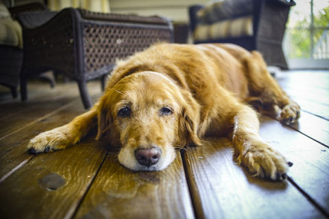 7 Things to Look Out for When Your Dog is Entering their Golden Years