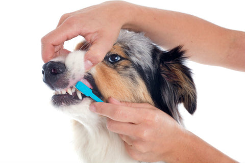 Dog Teeth being cleaned with a dog toothbrush