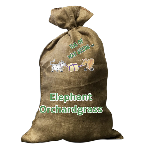 Elephant Orchardgrass