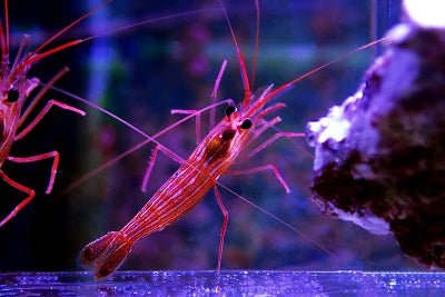 Peppermint Shrimp - Aiptasia Eating