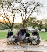 Load image into Gallery viewer, Black Copper Marans