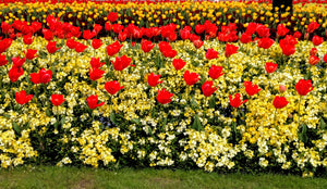 Flower bed at Buckingham Palace
