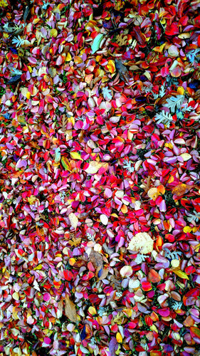Ornamental Pear Leaves in Autumn