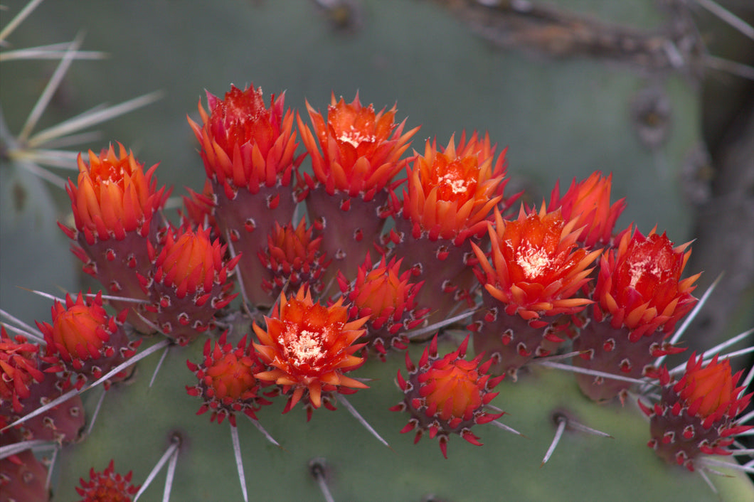 Cactus flowers in the Arizona Garden, Stanford University
