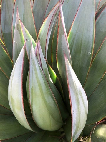 Agave scupture