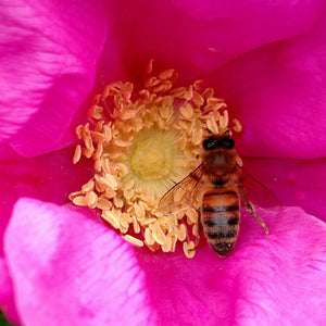 Honeybee on a rose