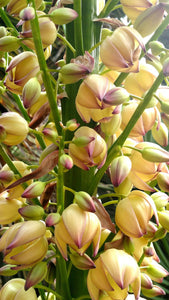 Yucca flowers - Arzona Garden, Stanford University