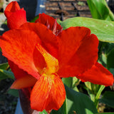 Bronze Scarlet Canna Lilly - Red Leaves