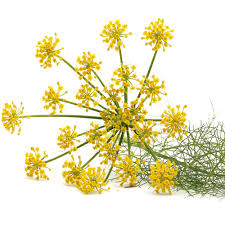 Current Obsession . . . Fennel.