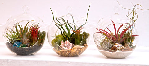 the top air plant tillandsia blog on the net tagged how to care for your air plant plantstr. Black Bedroom Furniture Sets. Home Design Ideas