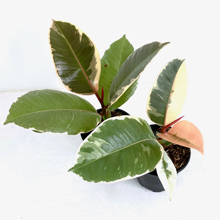 Variegated Rubber Tree (Tineke)