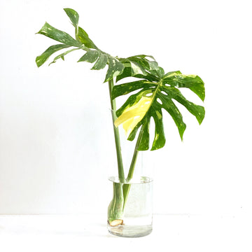 Monstera Centerpiece
