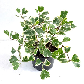 Heart Leaf Ficus (Variegated)