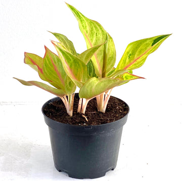 Pink Stem Aglaonema Golden Flourite