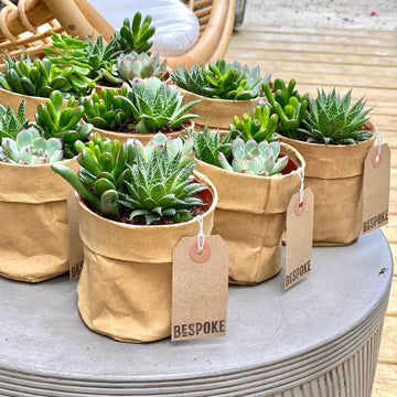 Bag o' Succulents
