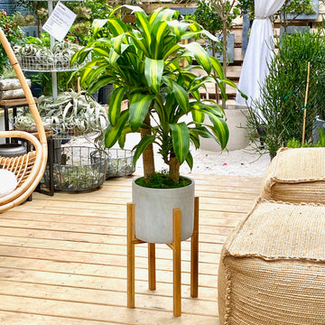 Dracaena Fragrans + Aiden Plant Stand