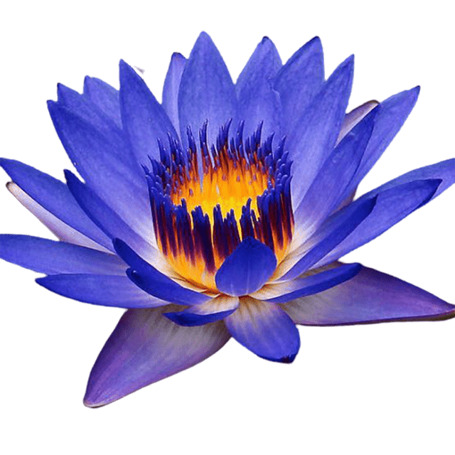 Blue Lotus Absolute Organic - Soap & More the Learning Centre Inc