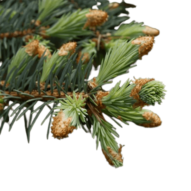 Black Spruce Essential Oil Organic - Soap & More the Learning Centre Inc