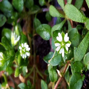 Chickweed Herb Pesticide free - Soap & More the Learning Centre Inc