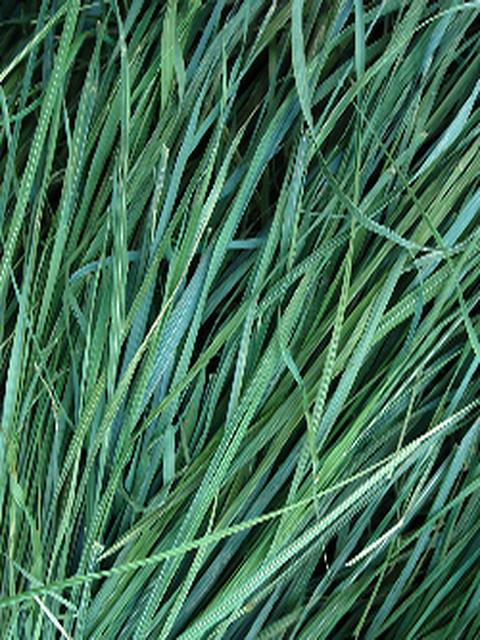 Sweetgrass Fragrance Oil - Soap & More the Learning Centre Inc