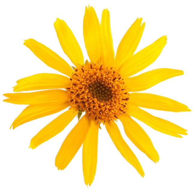 Arnica Infused in Organic Sunflower Oil - Soap & More the Learning Centre Inc