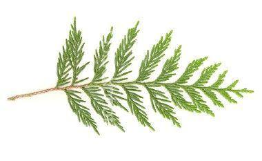 Cedar Leaf Thuja Essential Oil Organic