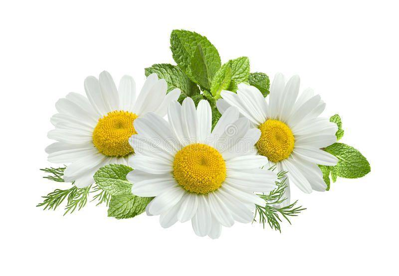 Chamomile, German Blue Essential Oil Organic