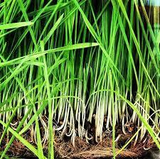 Naissance Steam Distilled Lemongrass Citratus Essential Oil