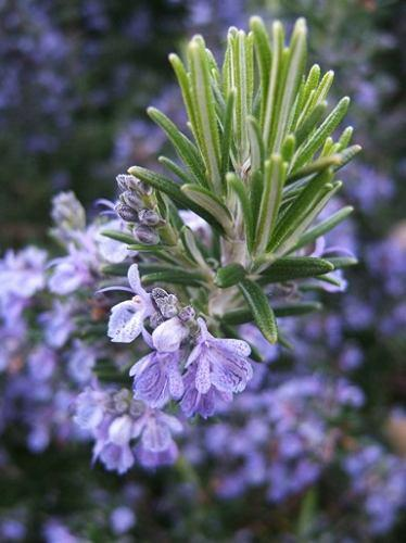 Naissance Pure Steam Distilled Rosemary Essential Oil