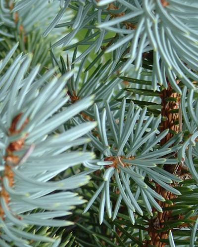 Naissance steam distilled Scotch Pine Needle Essential Oil