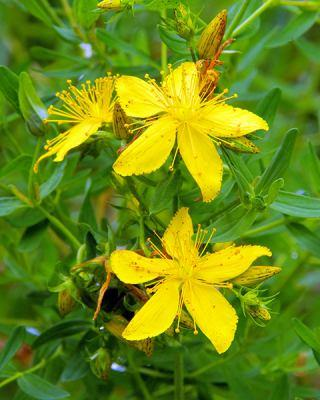 Naissance St John's Wort Infused Sunflower Oil